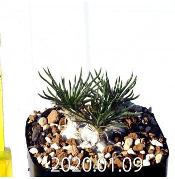 オーニソガラム sp. EQ615 子株 15356