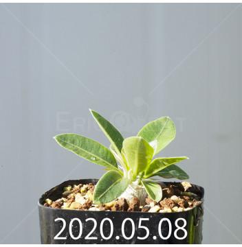 パキポディウム デンシフローラム 実生 15593
