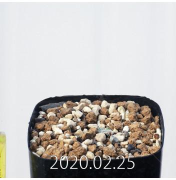 エリオスペルマム ドレゲイ IB13772 実生 15712
