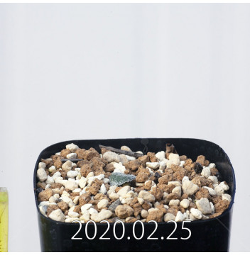 エリオスペルマム ドレゲイ IB13772 実生 15714