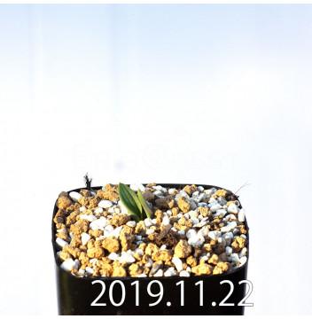 ラケナリア・ヴィリディフローラ 'グリーンクラウン' 子株 1604