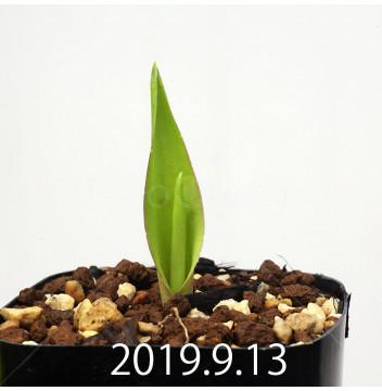 ラケナリア ネルボーサ JAA1448 実生 16302