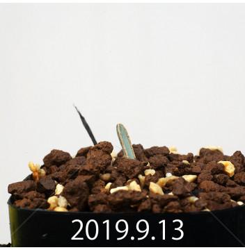 アルブカ ディルキュラ EQ811 実生 16311