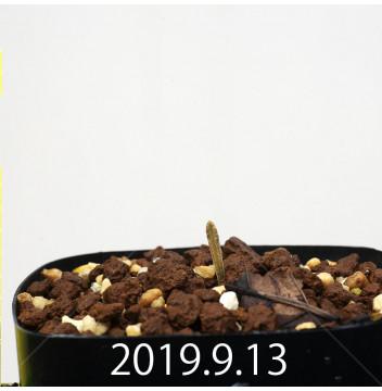 アルブカ ディルキュラ EQ811 実生 16318