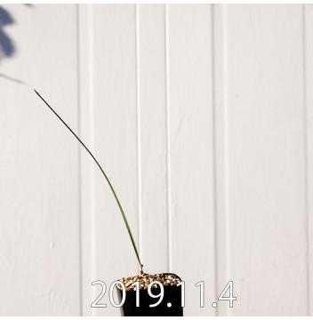 モラエア エレガンス オレンジイエロー 実生 17371