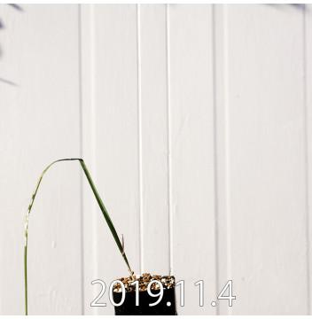 モラエア エレガンス オレンジイエロー 実生 17391