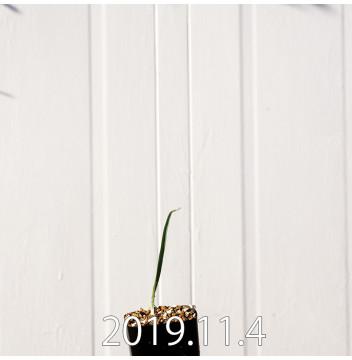 モラエア エレガンス オレンジイエロー 実生 17400