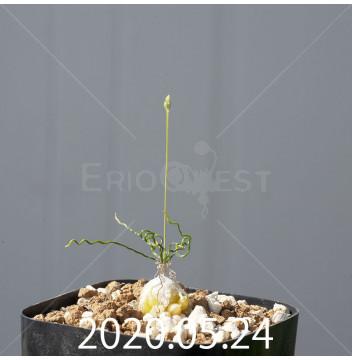 オーニソガラム トルツオスム DMC13646 子株 19952