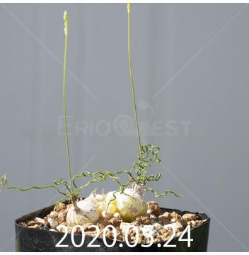 オーニソガラム トルツオスム DMC13646 子株 19966