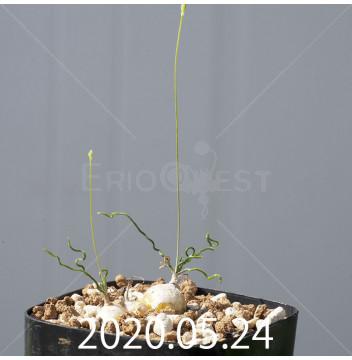 オーニソガラム トルツオスム DMC13646 子株 19971
