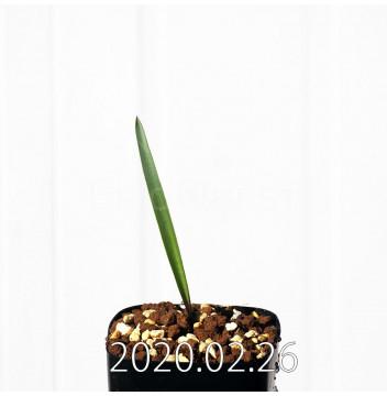 ラケナリア ムタビリス EQ467 子株 20361