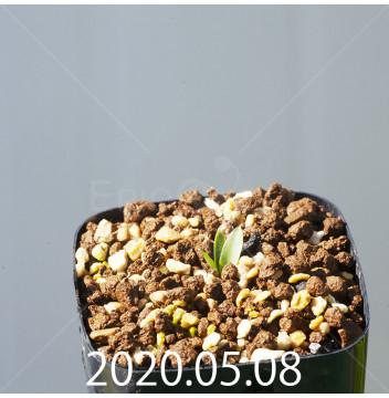 レデボウリア sp. JAA1038 実生 20548