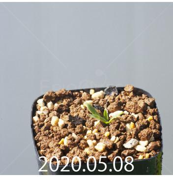 レデボウリア sp. JAA1038 実生 20559