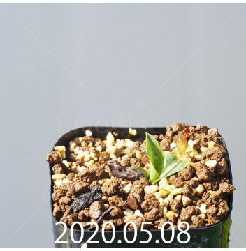 レデボウリア sp. JAA1038 実生 20574