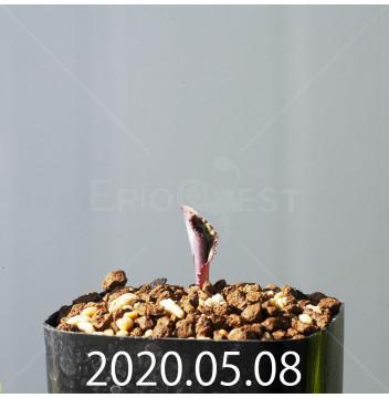 ドリミオプシス ブルケイ EQ737 子株 20793