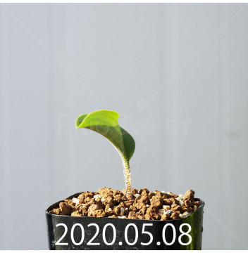 ドリミオプシス アトロプルプレア EQ756 実生 20842