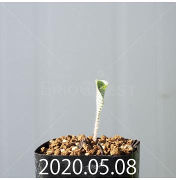 ドリミオプシス アトロプルプレア EQ756 実生 20849