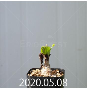 レデボウリア コンカラー DMC10146 子株 20861