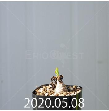 レデボウリア コンカラー DMC10146 子株 20871