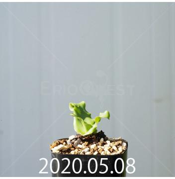 レデボウリア コンカラー DMC10146 子株 20891