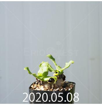 レデボウリア コンカラー DMC10146 子株 20893