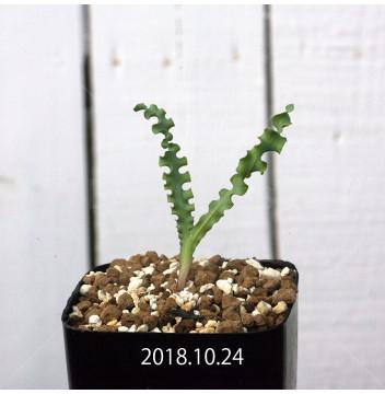 フリージア ヴィリディス クリスピフォリア亜種 EQ649