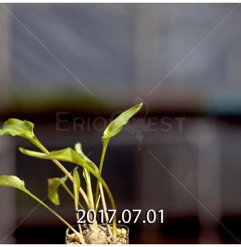 ドリミオプシス マキュラータ  ES16593 子株 2398