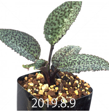 ドリミオプシス ブルケイ 子株 2723