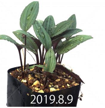 ドリミオプシス sp. nov. 子株 2872