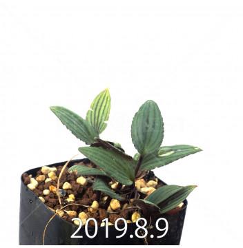 ドリミオプシス sp. nov. 子株 2873