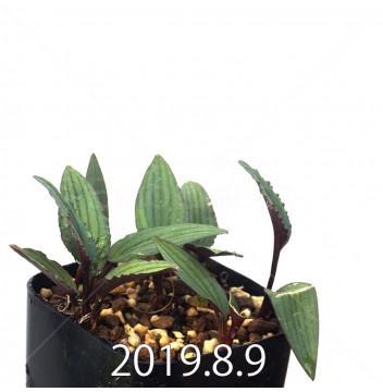 ドリミオプシス sp. nov. 子株 2876