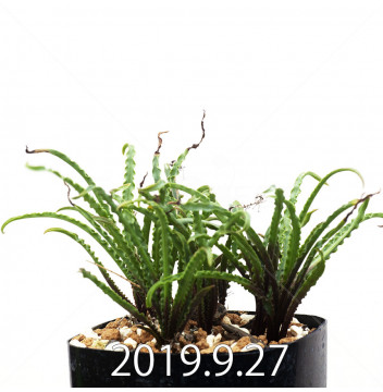 レデボウリア クリスパ 小型 子株 3007