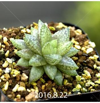 ハオルチア レティキュラータ フリンギー変種 RIB0462, 3471