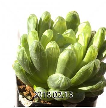 ハオルチア 青玉簾 3576