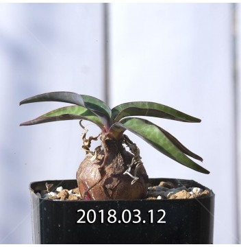 レデボウリア コリアセア DMC9654 子株 3737