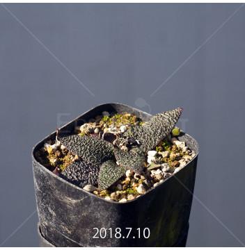 レデボウリア ガルピニー 実生 3788