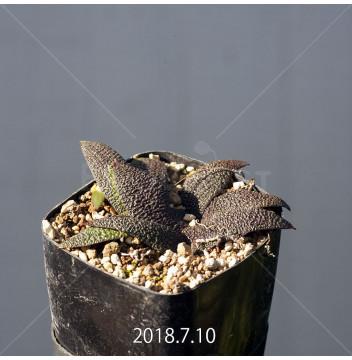 レデボウリア ガルピニー 実生 3801