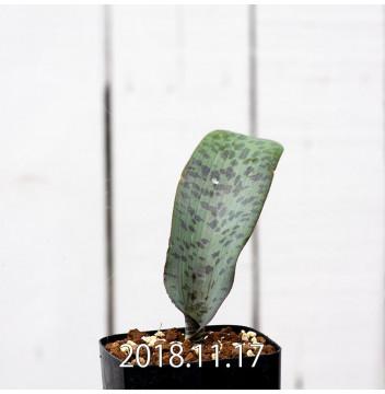 ラケナリア sp. JAA639 実生 3947