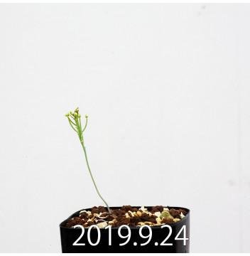 エリオスペルマム アフィルム 実生 4101