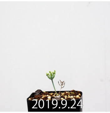エリオスペルマム アフィルム 実生 4581