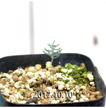 エリオスペルマム アフィルム IB10404 実生 4620