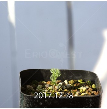 エリオスペルマム パラドクスム Type-RX 実生 4679