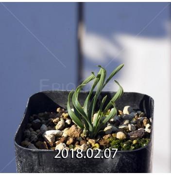 カマイスキラ スピラリス 実生 4970