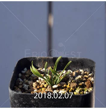 カマイスキラ スピラリス 実生 4974