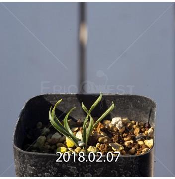 カマイスキラ スピラリス 実生 4984