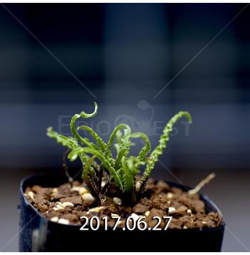 レデボウリア クリスパ 小型 子株 5433