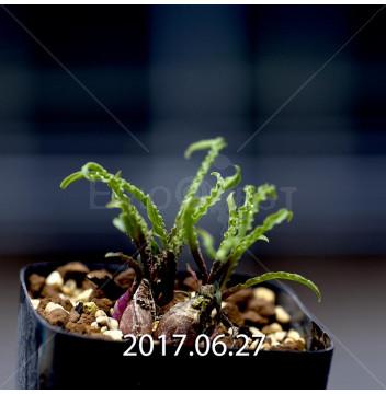 レデボウリア クリスパ 小型 子株 5435