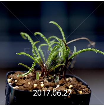 レデボウリア クリスパ 小型 子株 5438