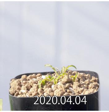 レデボウリア クリスパ 小型 子株 5439