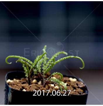レデボウリア クリスパ 小型 子株 5447